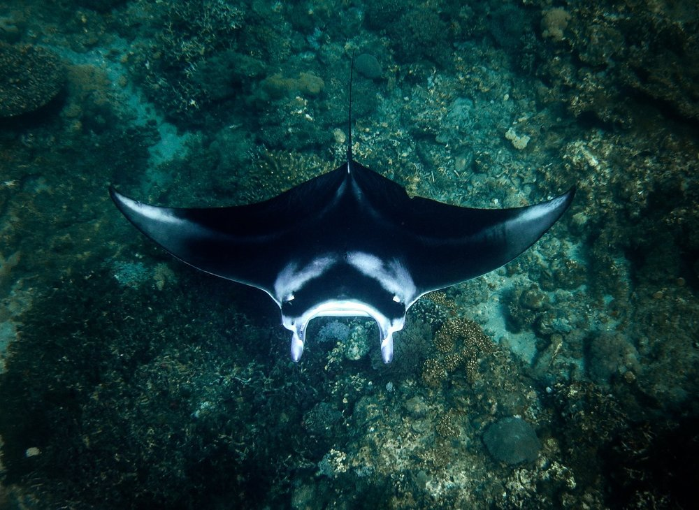 manta-ray-lamave-research-philippines.jpg