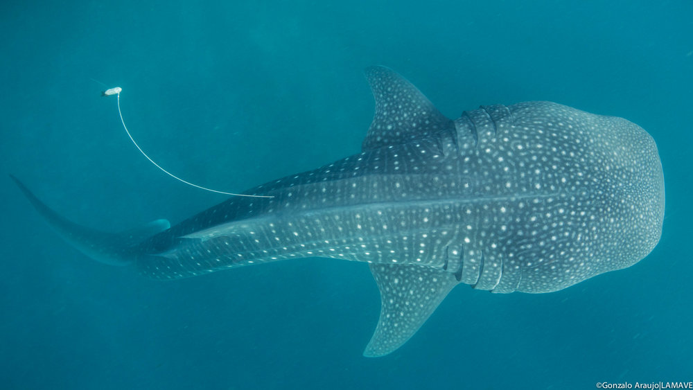 whale-shark-satellite-tag-lamave-research-philippines