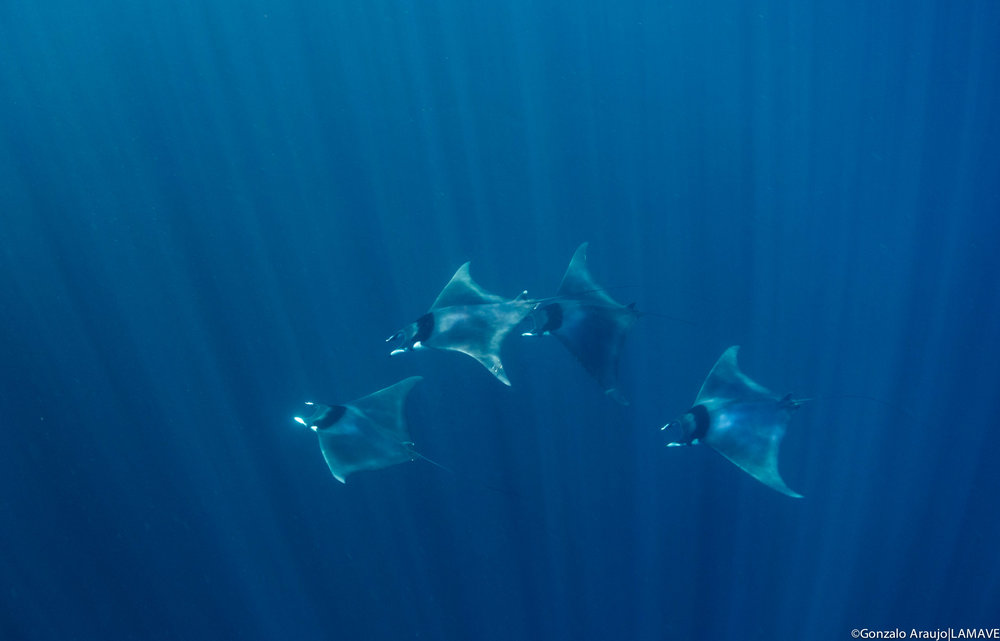 A school of Mobula japanica encountered by the team while on survey in the Bohol Sea.