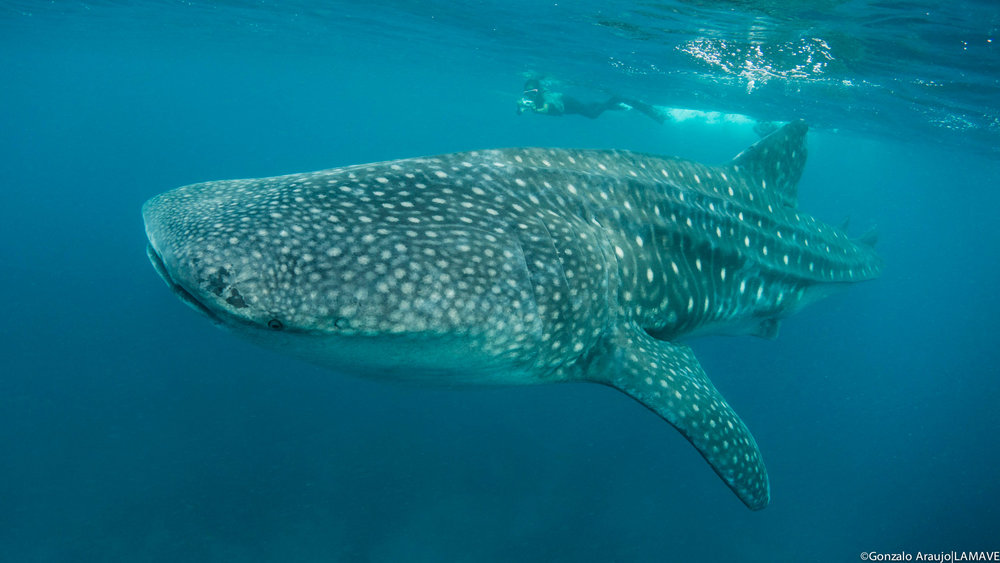 whale-shark-researcher-leyte-philippines-lamave