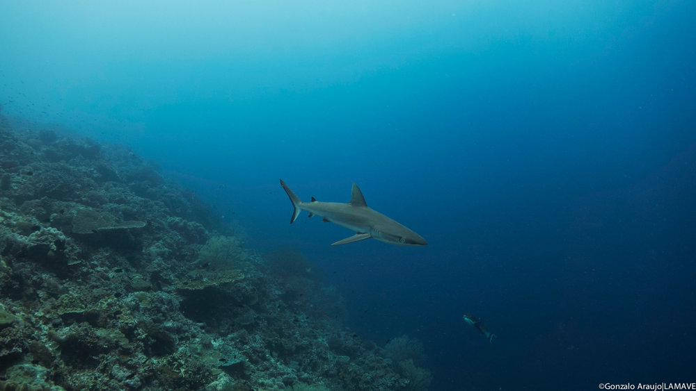 grey-reef-shark-lamave-tubbataha-reefs-philippines.jpg