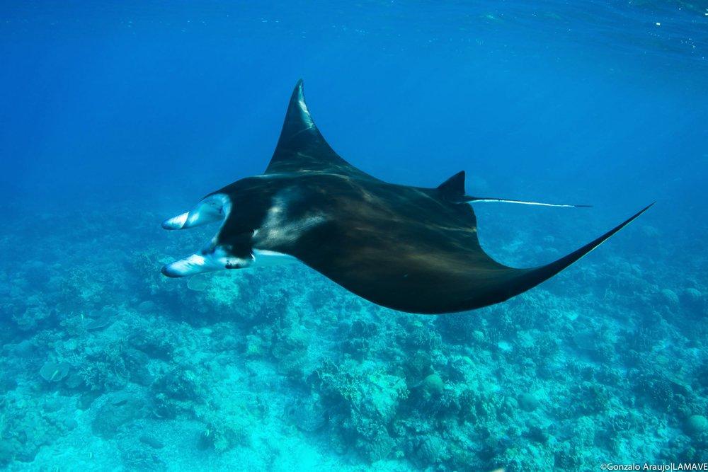 manta-ray-alfredi-lamave-tubbataha-reefs