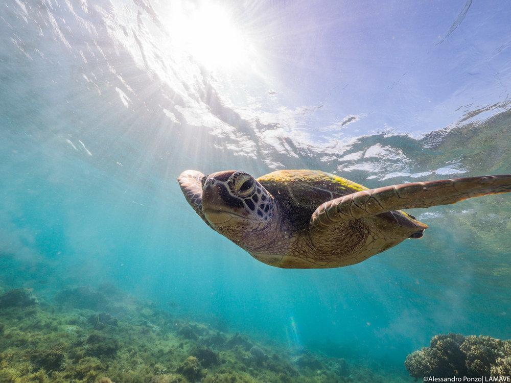 turtle-apo-island-philippines-alessandroponzo-lamave