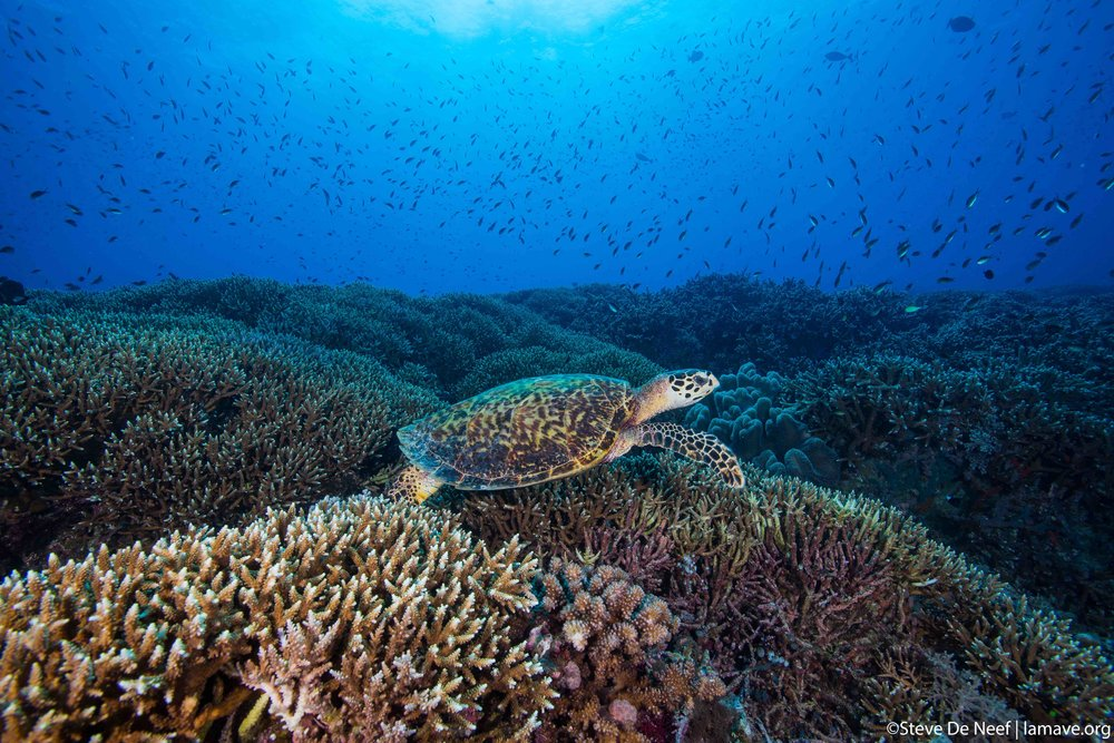 The Philippines is home to 5 species of marine turtles, most of them are listed as EndangereD. - LAMAVE study the movement and distribution of the turtles and focus on turtle rescue.