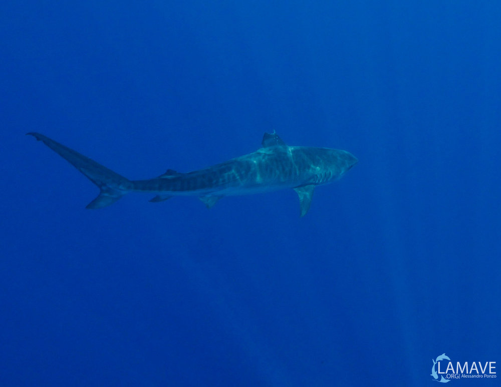 The tagged tiger shark swims into the blue