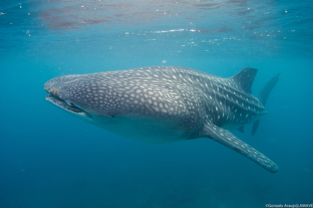 A whale shark encountered in Southern Leyte, one of the trips destinations