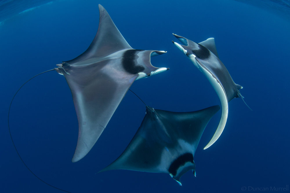 Spine tail devil rays (M. japanica cf mobular) in the Philippines photographed by Duncan Murrell .