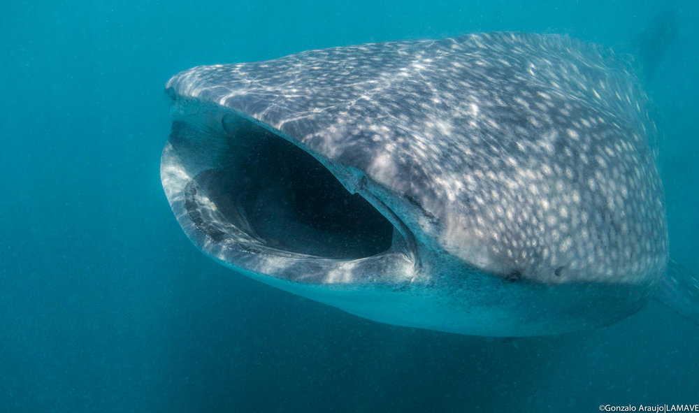 A whale shark feeds in the rich waters of Donsol, Philippines. Credit: Gonzalo Araujo.