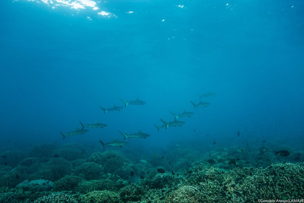Photo 1. Juvenile grey reef sharks photographed in Tubbataha Reefs Natural Park. Credit: Gonzalo Araujo|LAMAVE.