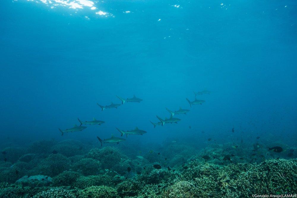 Photo 1. Juvenile grey reef sharks photographed in Tubbataha Reefs Natural Park. Credit: Gonzalo Araujo|LAMAVE.