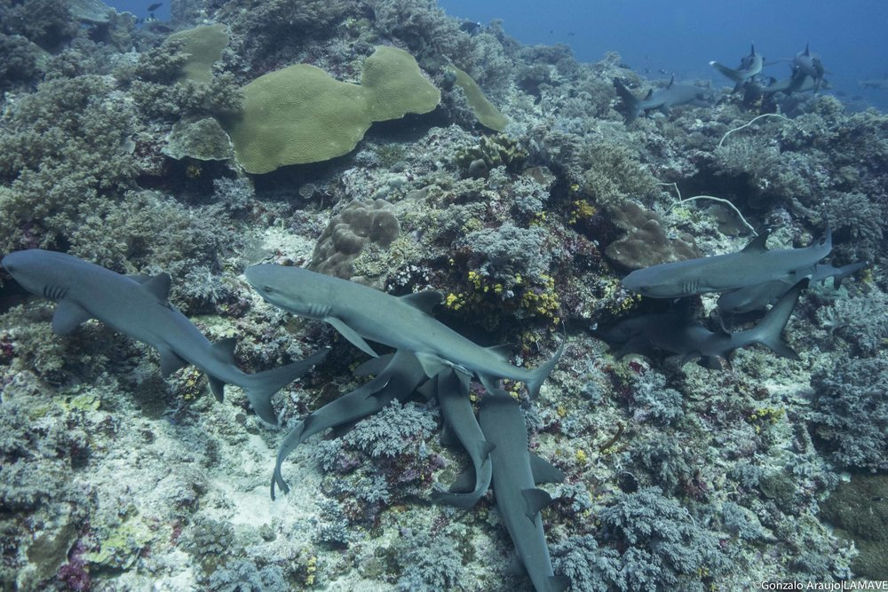 Photo 3.Whitetip reef sharks in TRNP. Gonzalo Araujo|LAMAVE