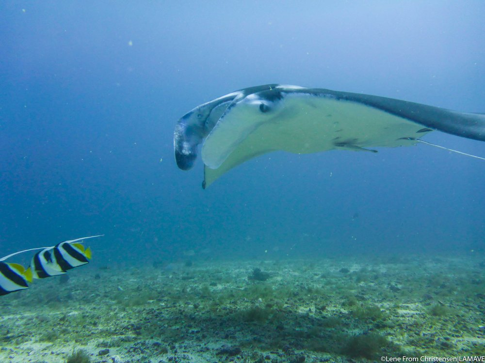 A reef manta ray recorded on the Remote Underwater Video (RUV)