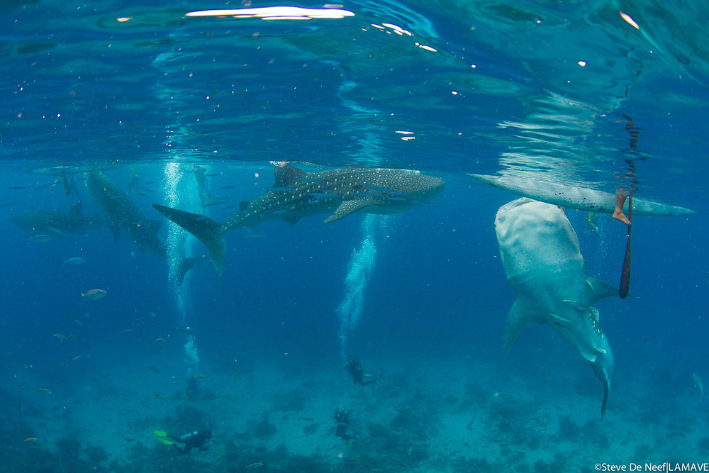 Whale shark getting fed in Tan-awan, Oslob over the shallow reef. ©Steve De Neef|LAMAVE