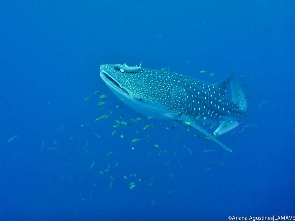A whale shark encountered by the team whilst on survey.