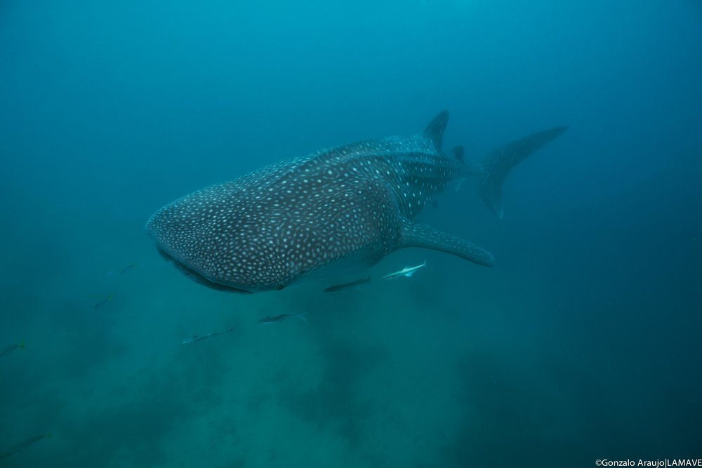 A juvenile whale shark cruises through the waters of Sogod Bay.