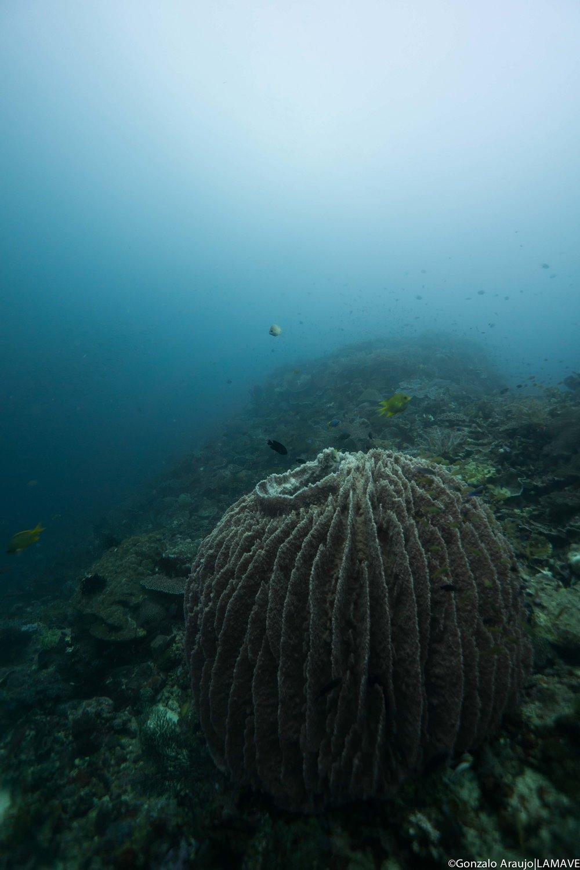 Barrel sponge in Anda, Bohol