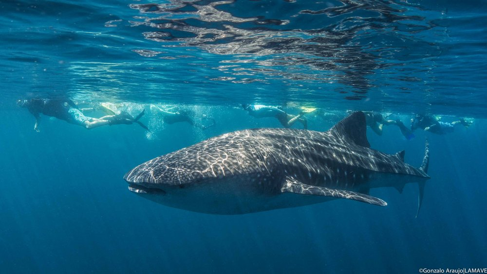 Tourists swim alongside a whale shark in Philippine waters. Image: Lamave