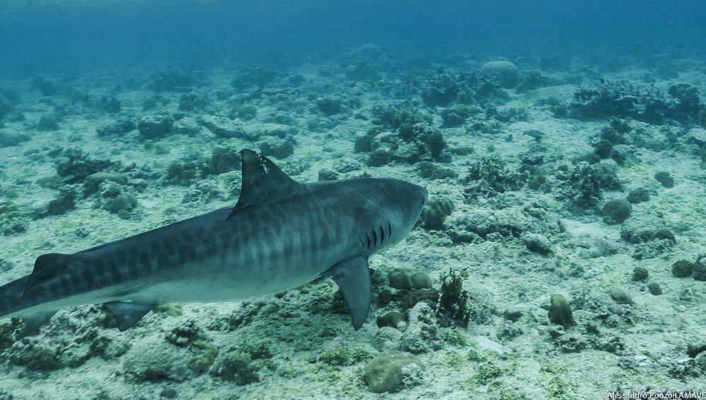 tiger-shark-tagging-lamave-tmo-tubbataha-reefs.jpg