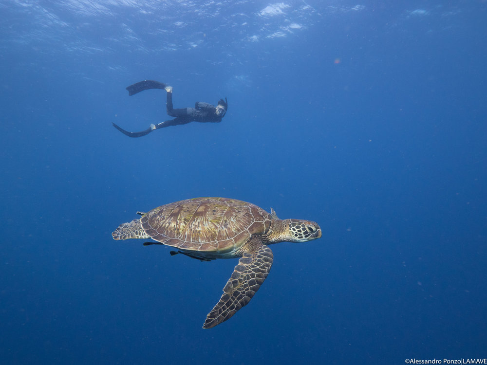 Calvin with a green turtle in the waters of Apo Island.