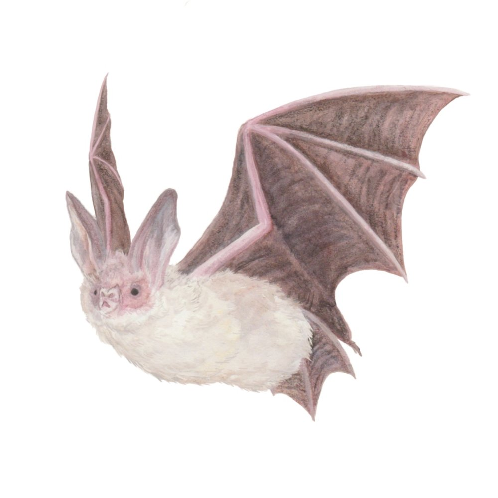 The Long-Eared Bat, from a short series of scientific illustration focusing on bats and marsupials.