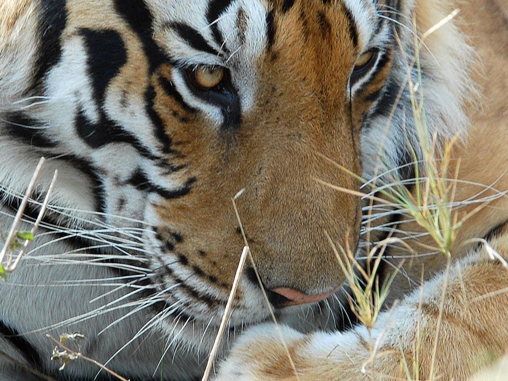 001 tiger.jpg