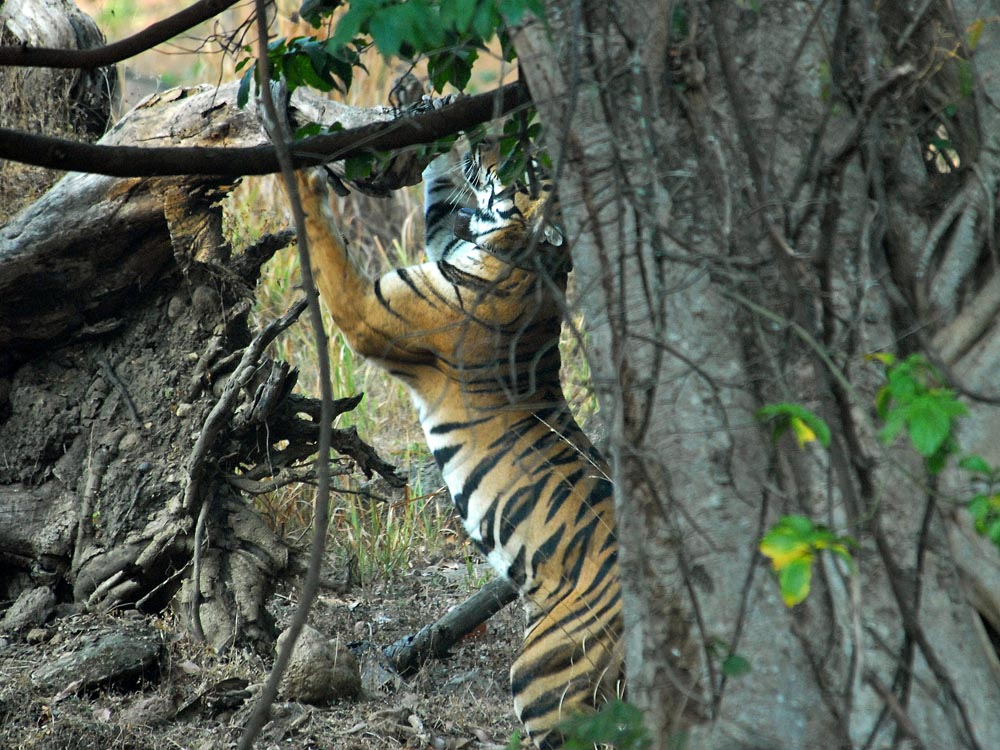 021 tiger scenting with cheek.jpg