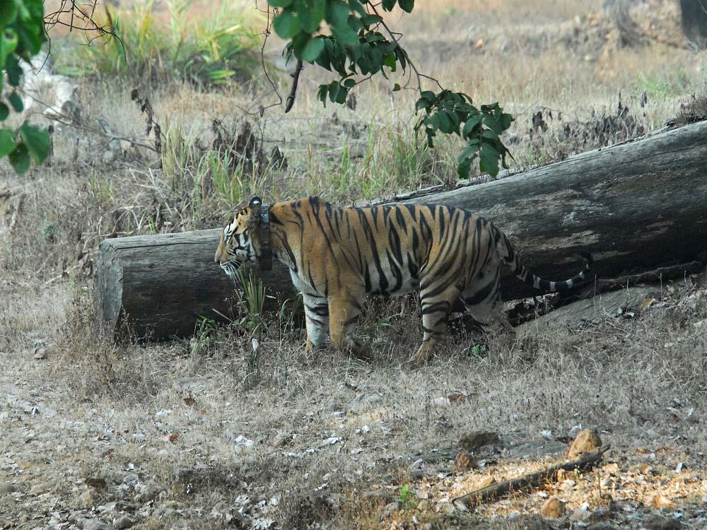 022 tiger with collar.jpg