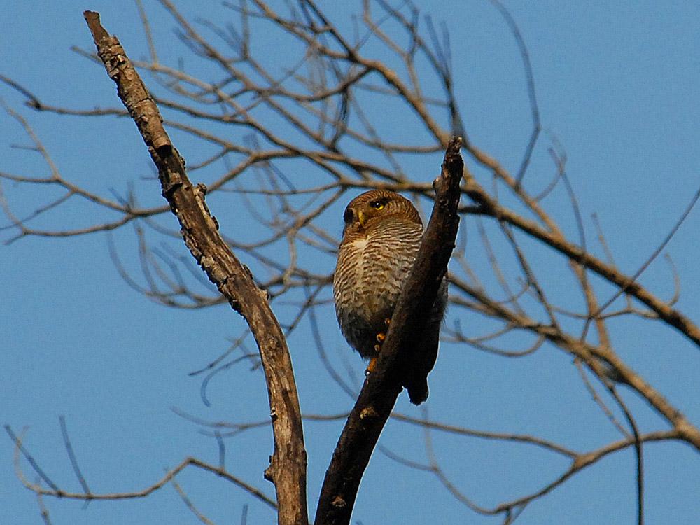 035 jungle owlet.jpg