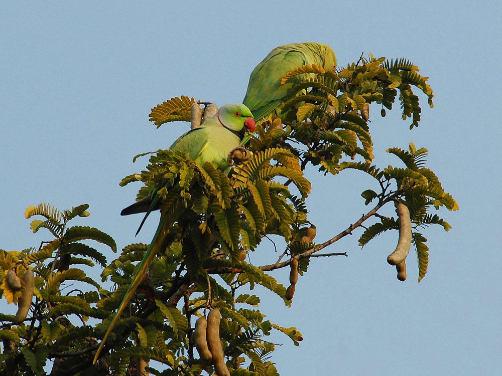 036 parakeets.jpg