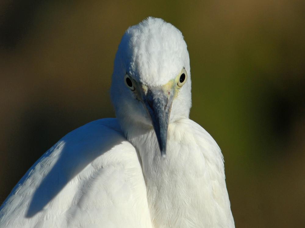 040 little egret.jpg