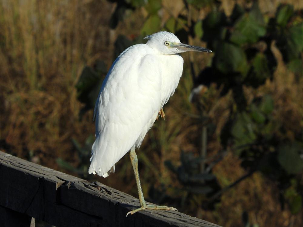 041 little egret.jpg