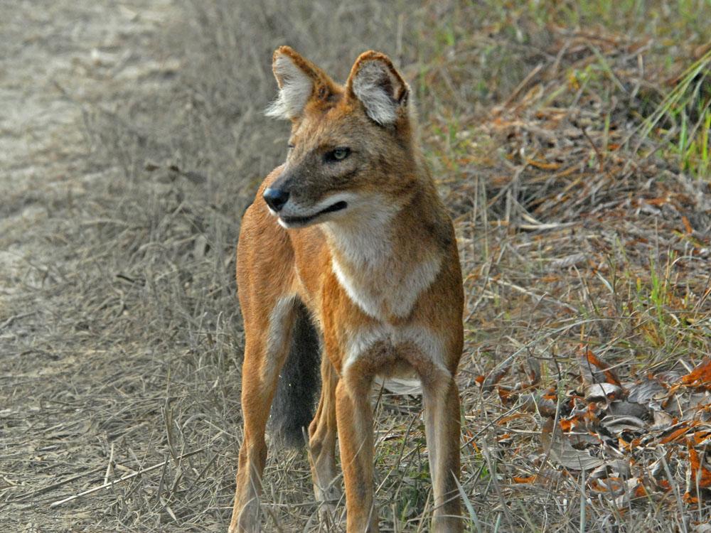 045 wild dog.jpg