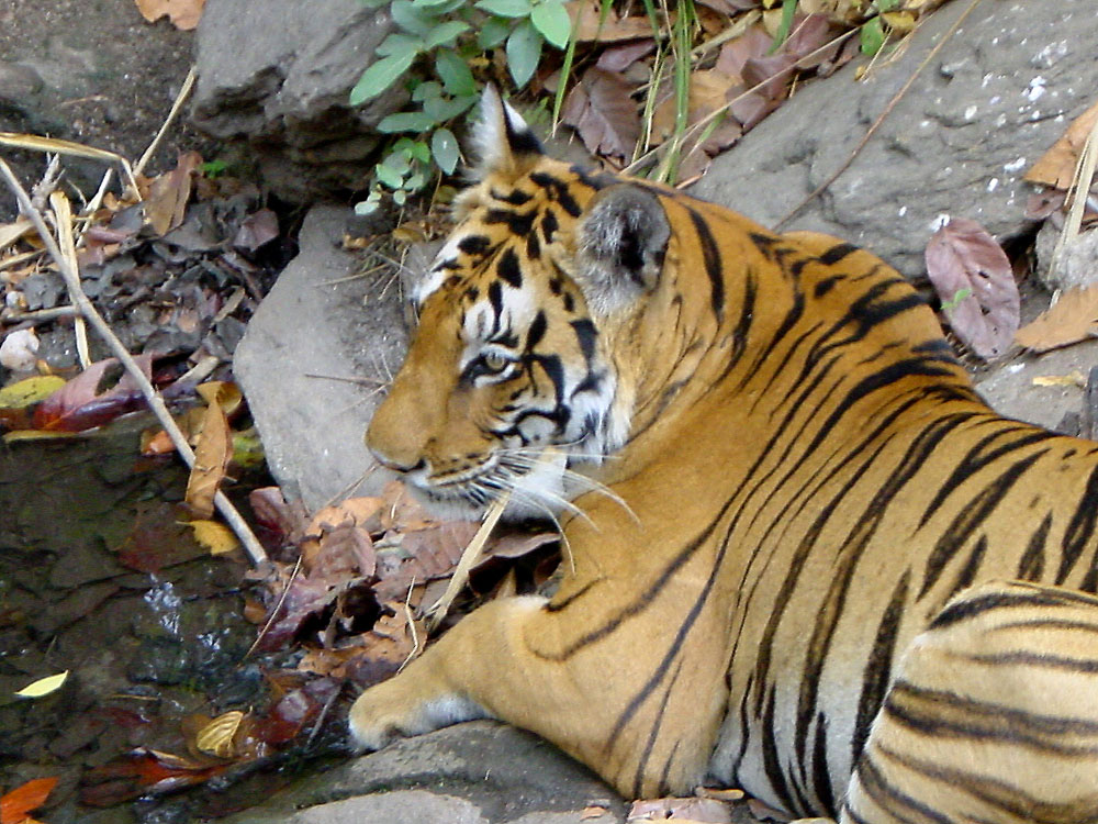 051 tiger.jpg