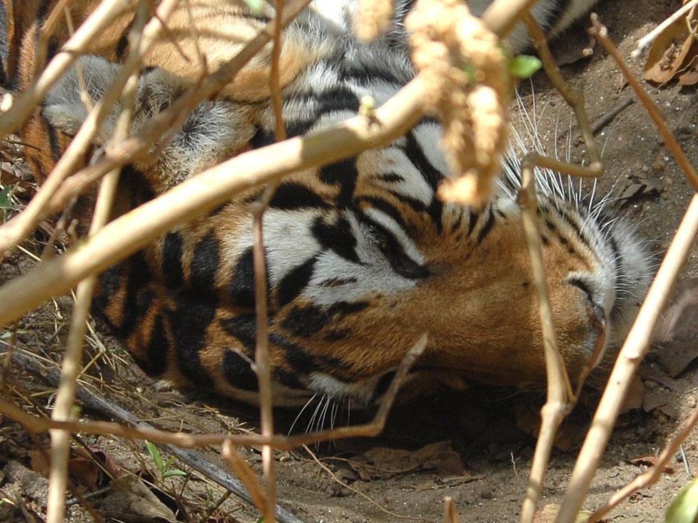 076 tiger.jpg