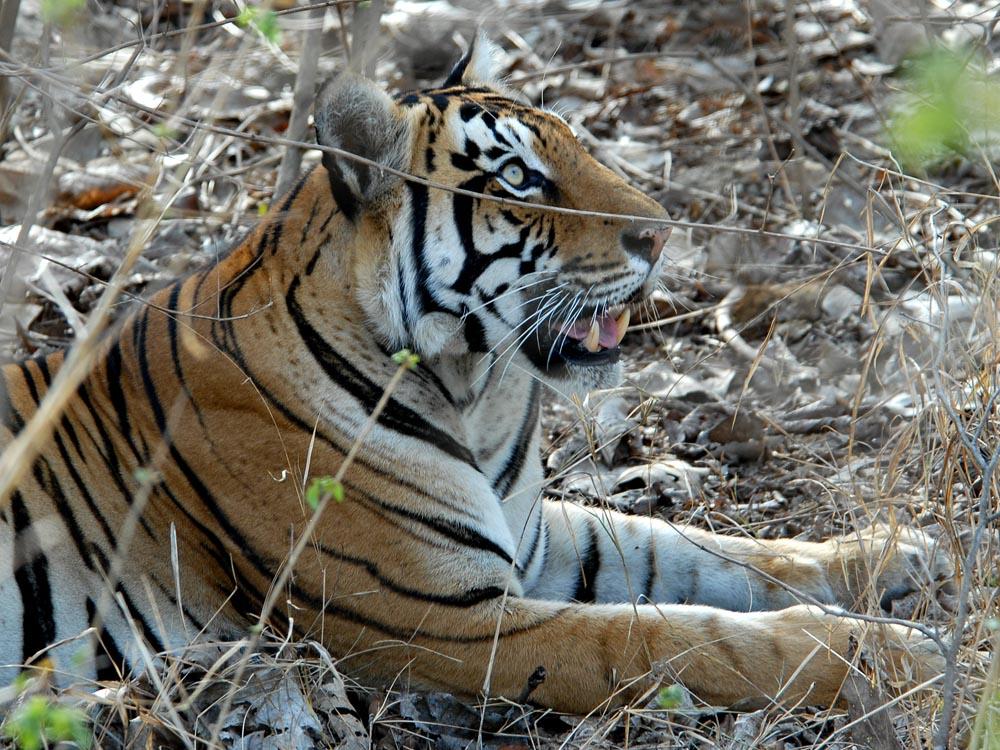 080 tiger.jpg