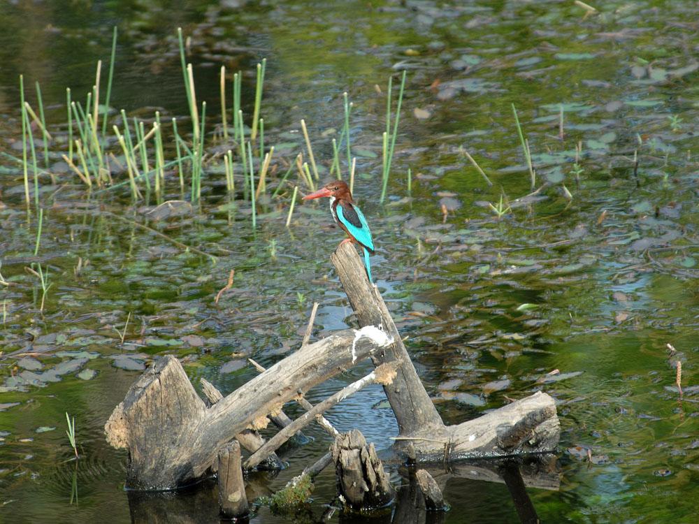 102 kingfisher.jpg