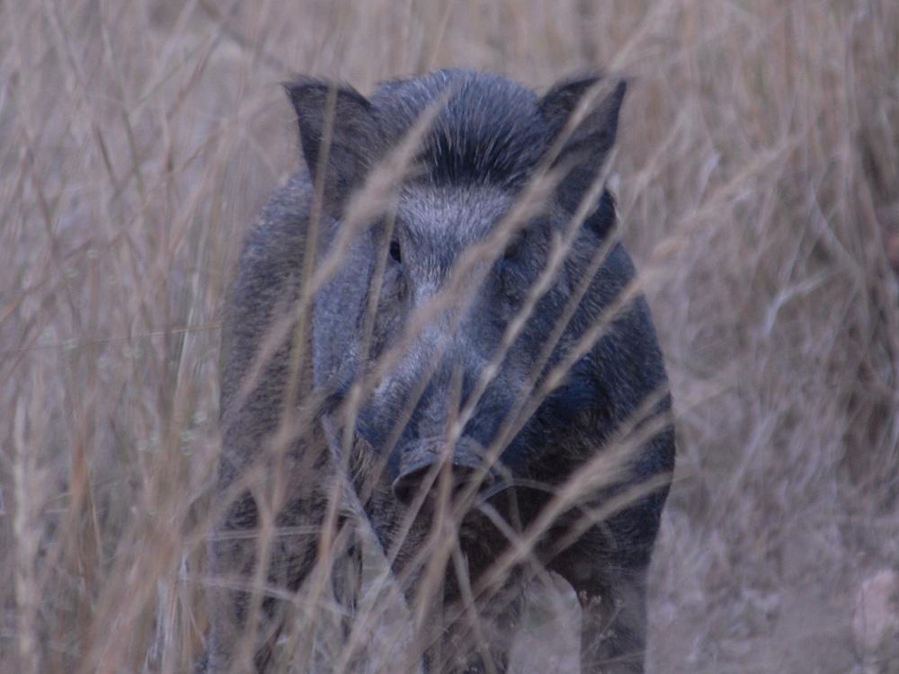 042 wild boar.jpg