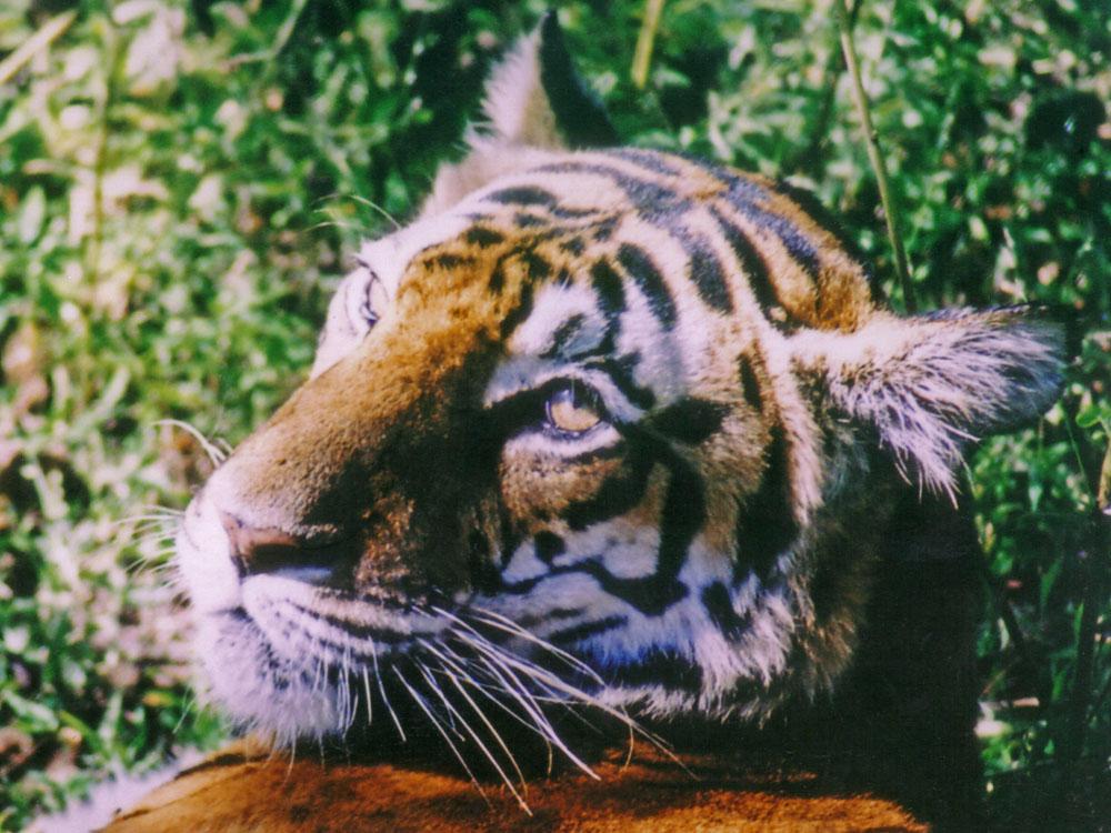 001 tigress looking back.jpg