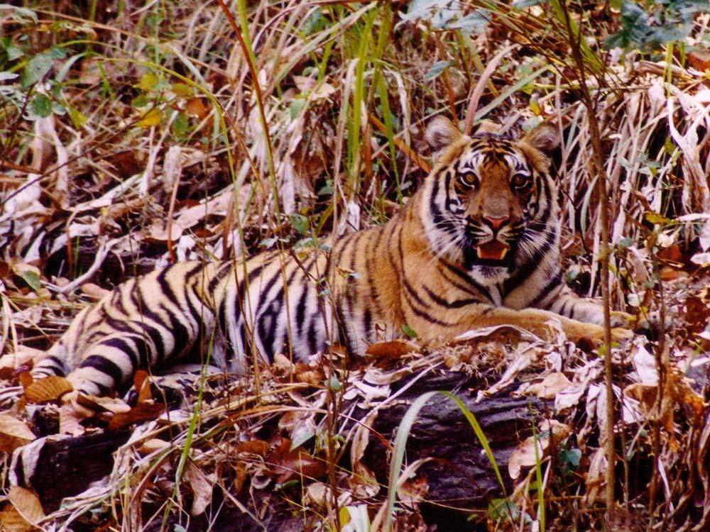 002 tigress full body facing.jpg