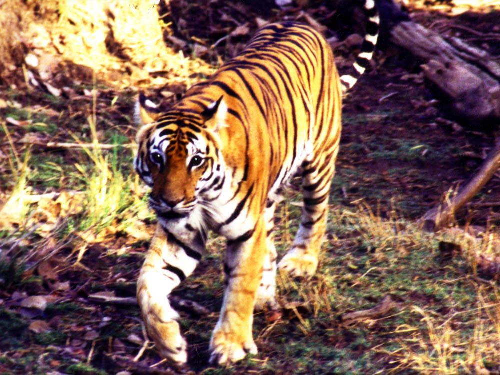 008 tiger walking head on.jpg