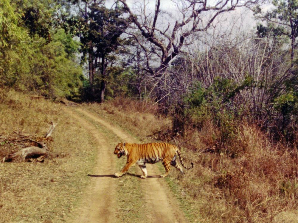016 tiger crossing road.jpg