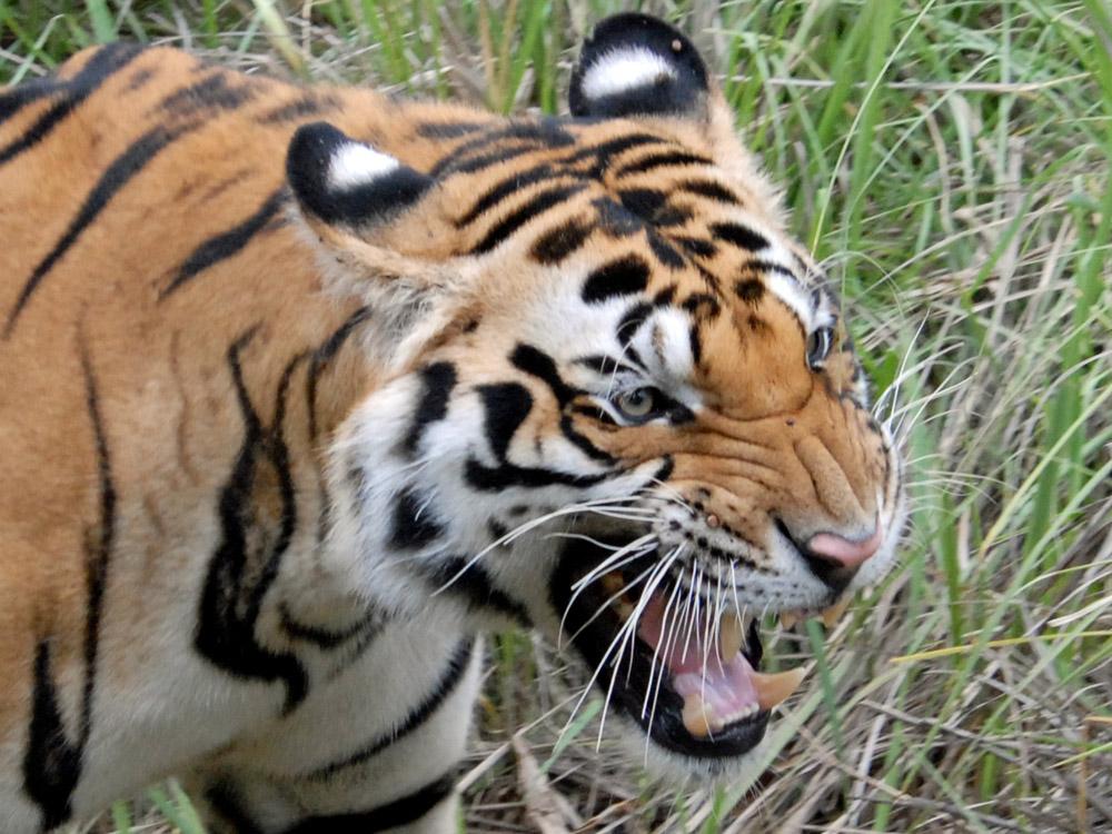 026 tiger.jpg