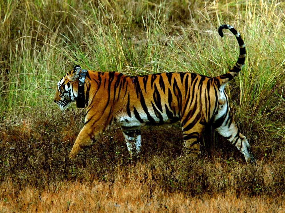 029 tiger.jpg