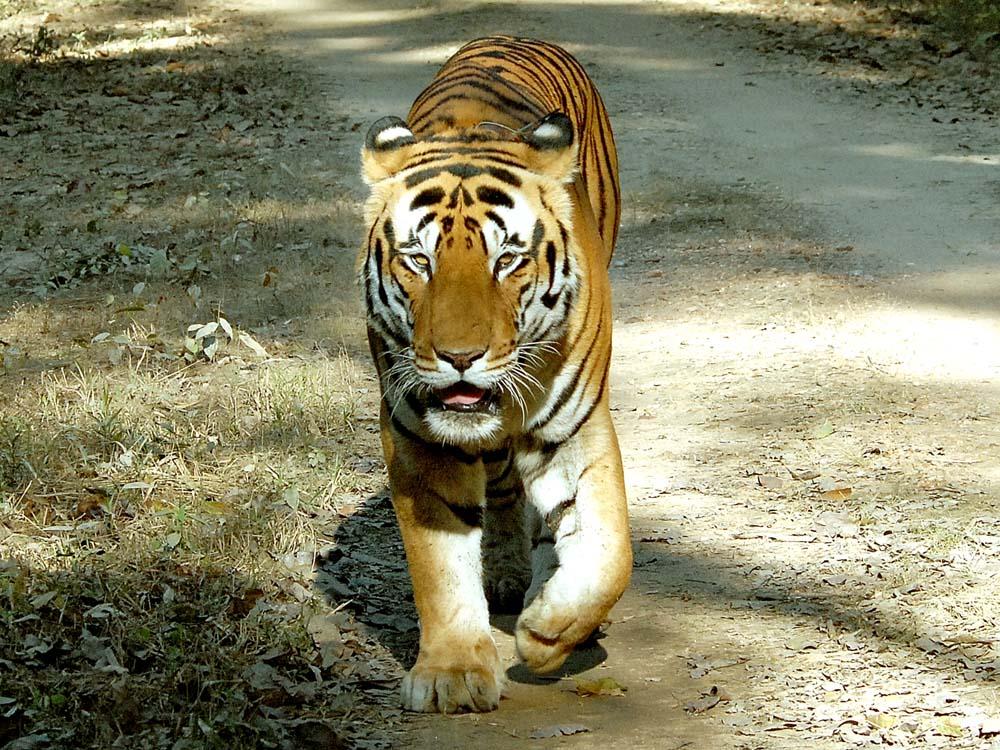 034 tiger.jpg
