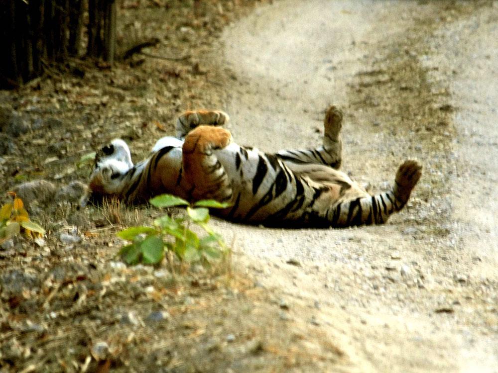 051 tiger having fun.jpg