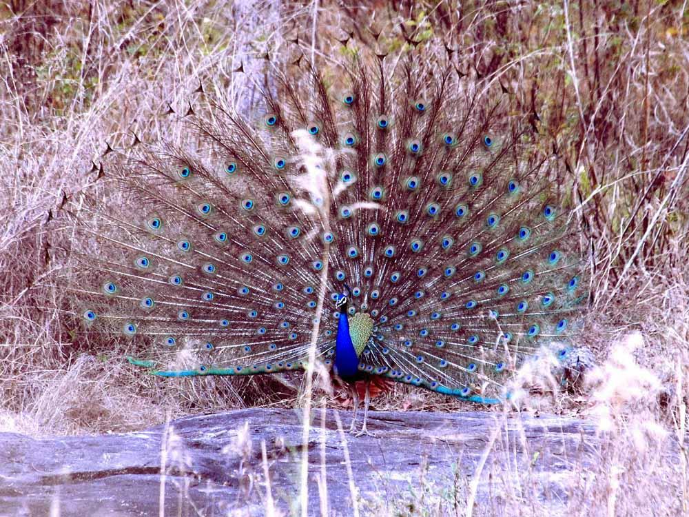 053 peacock.jpg