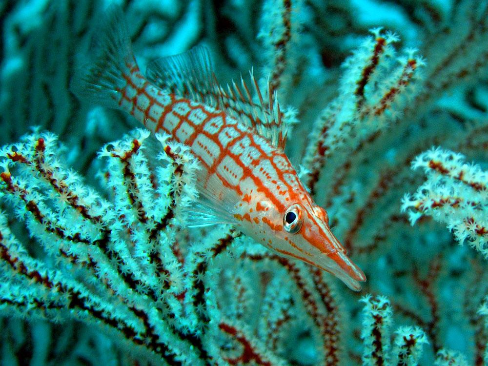 011 longnose hawkfish - thailand.jpg