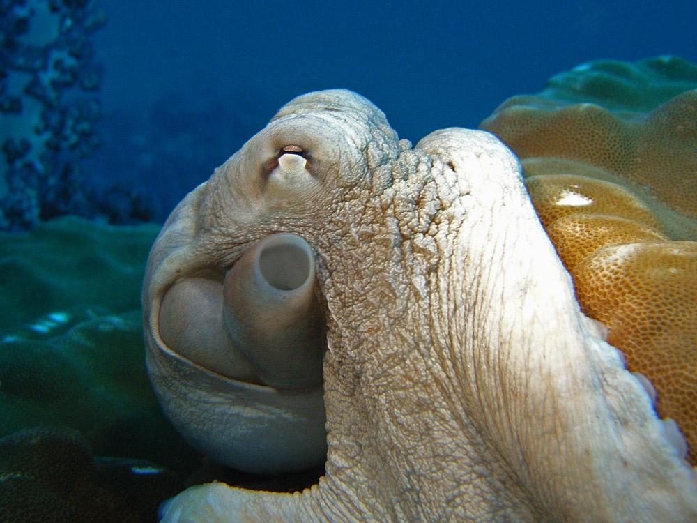 024 octopus - richelieu rock, thailand.jpg