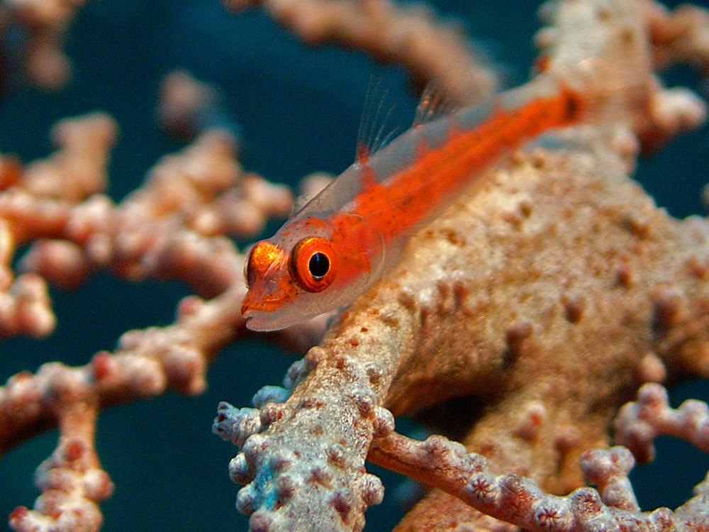 035 fish - raja ampat, indonesia.jpg