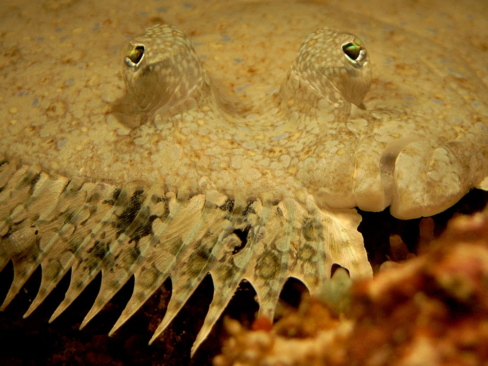 036 flounder - raja ampat, indonesia.jpg